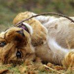 Baby Lion Photos