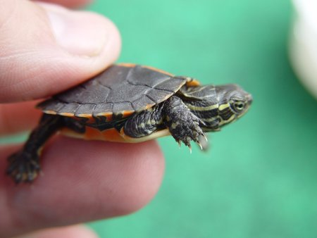 Baby+Turtle+Types Picture 4 - Baby Painted Turtle