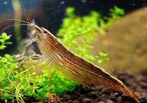Bamboo Shrimp Picture