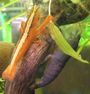 Photos of Bamboo Shrimp