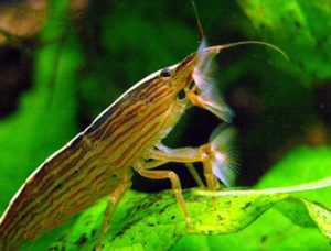 Pictures of Bamboo Shrimp