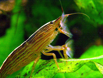 Bamboo Shrimp Pictures