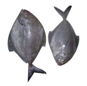 Black pomfret Photo