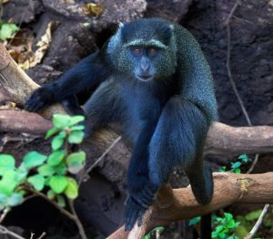 Blue Monkey Picture