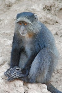 Photos of Blue Monkey