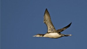 Common Loon Bird Flying Photo