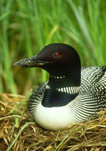 Common Loon Bird on Land Photo