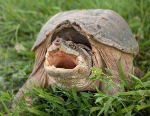 Pet Turtle Drawing