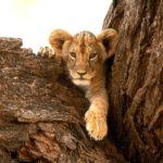 Cute Lion Cub Pictures
