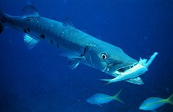 Photos of Great barracuda