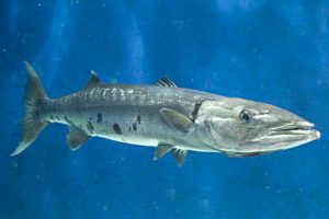 Pictures of Great barracuda