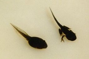 Green Tree Frog Tadpoles Photo