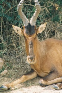 Photos of Hartebeest