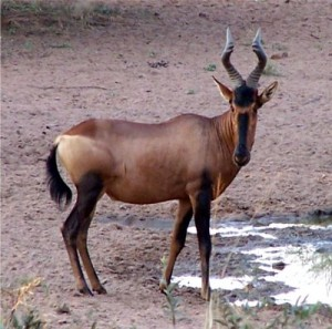 Pictures of Hartebeest