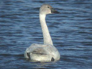 Juvenile Tundra Swan Photo