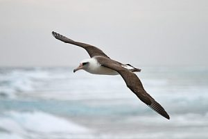 Laysan Albatross Flying Photo