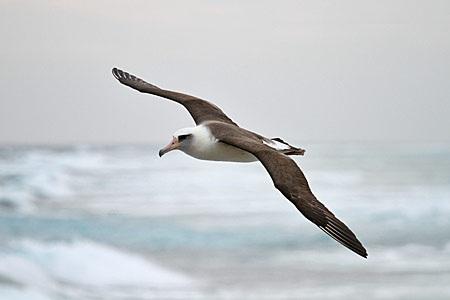 Laysan albatross homosexuality