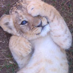 Pictures of Lion Cub