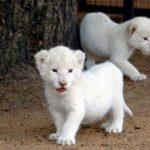 Lion Cubs Picture