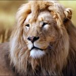 Images of Lion