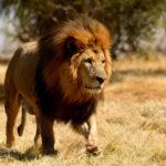 Photos of Lion