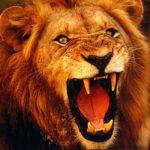Roar of a Lion