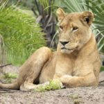 Lioness Pictures
