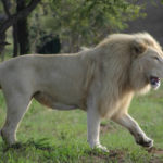 Pictures of White Male Lion