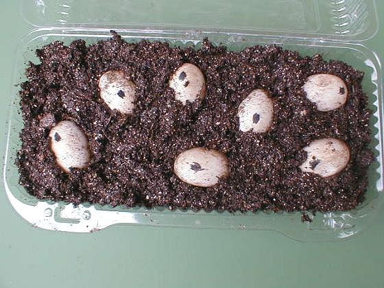 how to find painted turtle eggs
