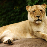 Pictures of Lion