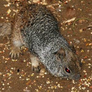 Rock Squirrel Picture