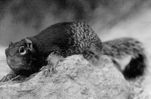 Images of Rock Squirrel