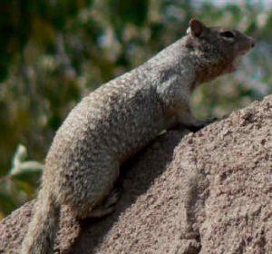Photos of Rock Squirrel