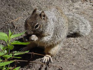 Pictures of Rock Squirrel