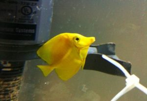 Sick Yellow Tang Photo