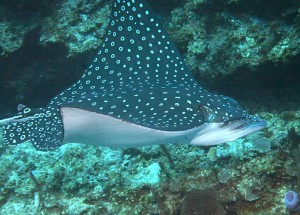 Spotted Eagle Ray Picture
