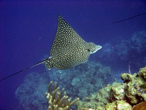 Images of Spotted Eagle Ray