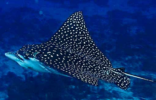 Photos of Spotted Eagle Ray