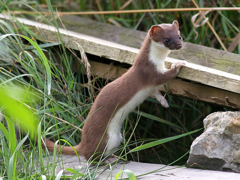 What does a stoat look like 10