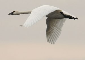 Tundra Swan Flying Image