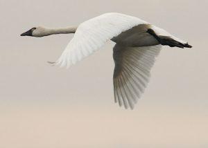 Tundra Swan Flying Image
