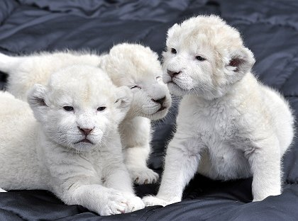 cute baby white lions - photo #10