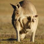 Baby Kangaroo with Mother Photo