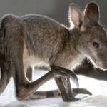 Baby kangaroo Picture