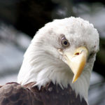 Bald Eagle Angry Looks Picture