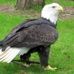 Bald Eagle Back Wings Picture