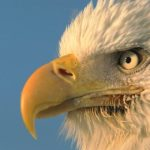 Bald Eagle Beak Picture