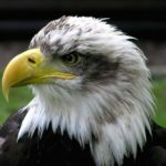 Bald Eagle Closeup Look Photo