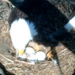 Bald Eagle Eggs Picture