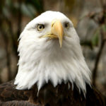 Bald Eagle Face Photo